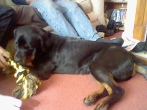 A Skinny Rottwieler holding a yellow and balck rope toy
