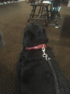 rottweiler watching people in the local pub